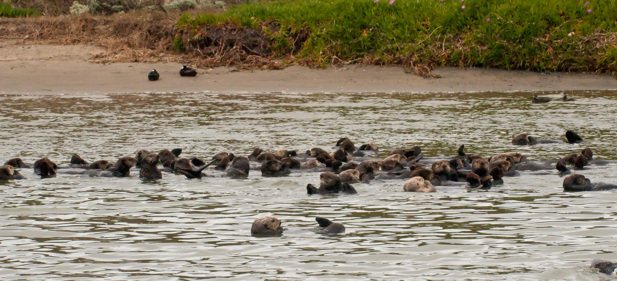20100318_Raft_of_Sea_Otter.jpg