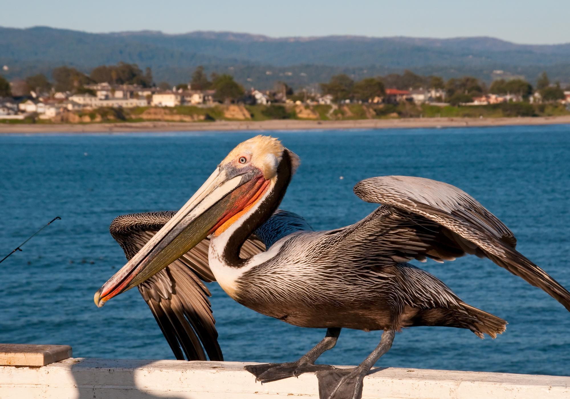 20100321_Brown_Pelican.jpg