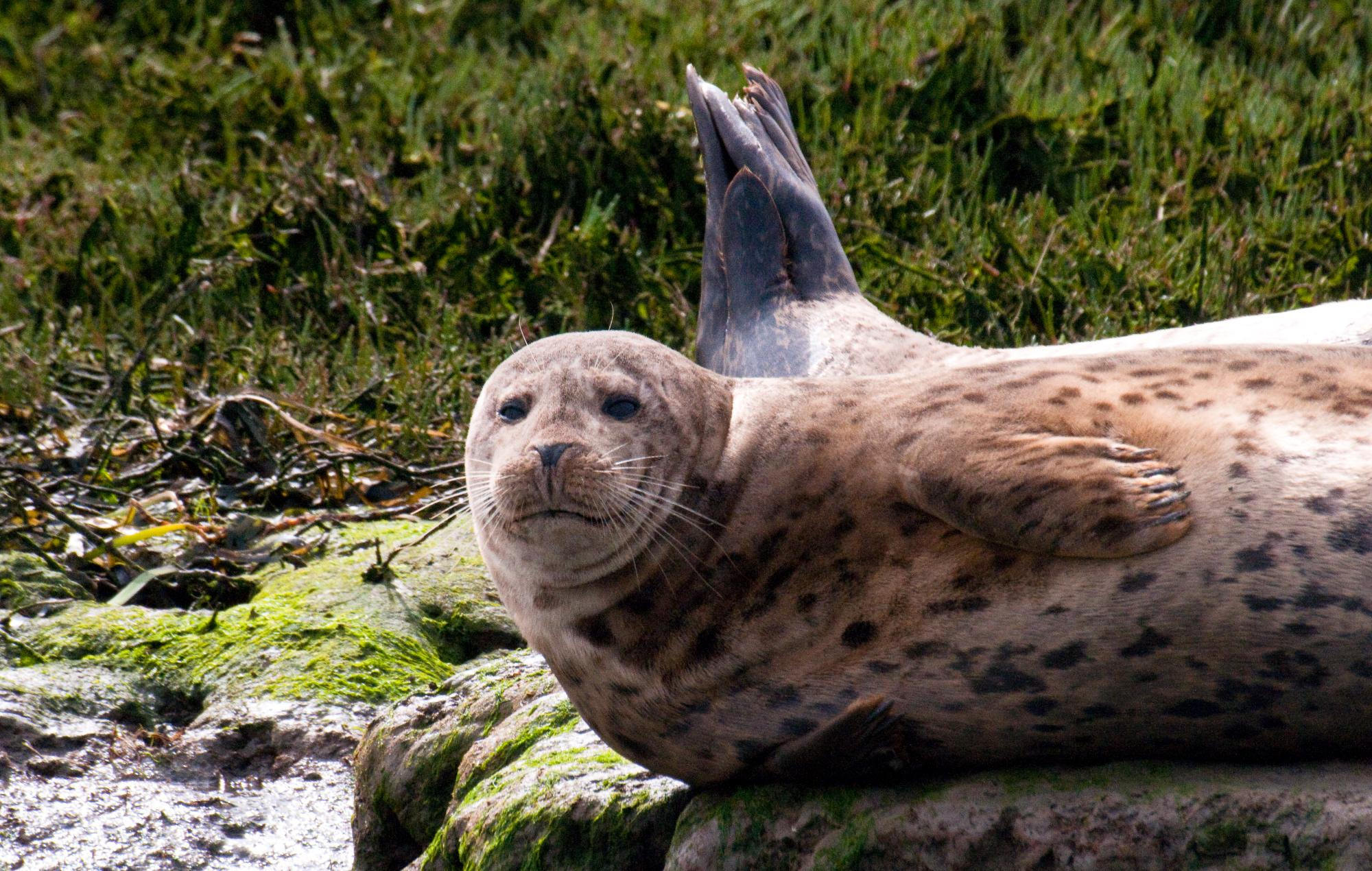 20100515_Harbor_Seal_Curious_About_Us.jpg