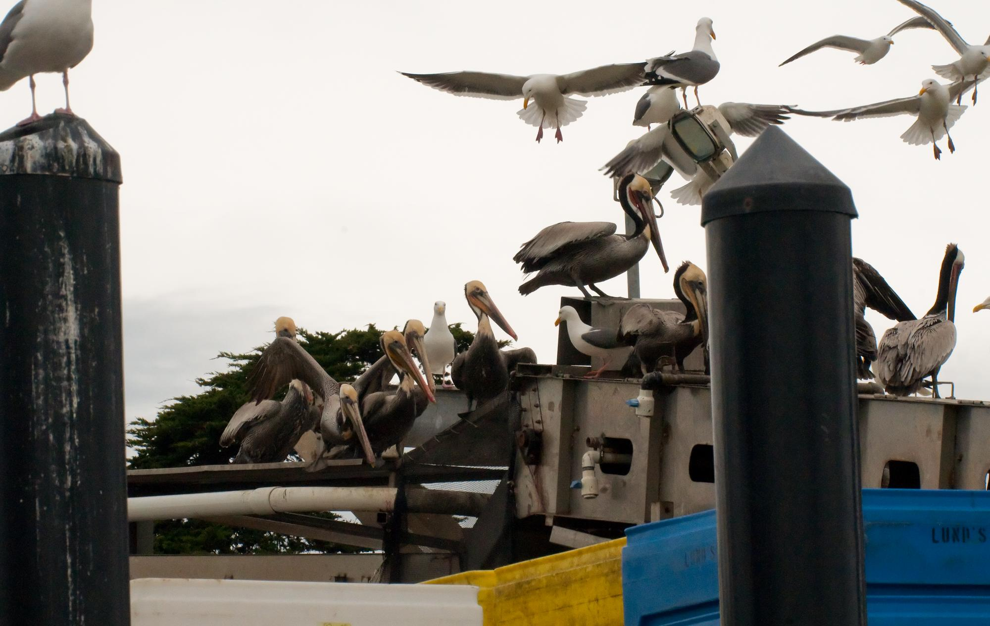 20100522_Brown_Pelicans_Perched_Fishing_Equipment.jpg
