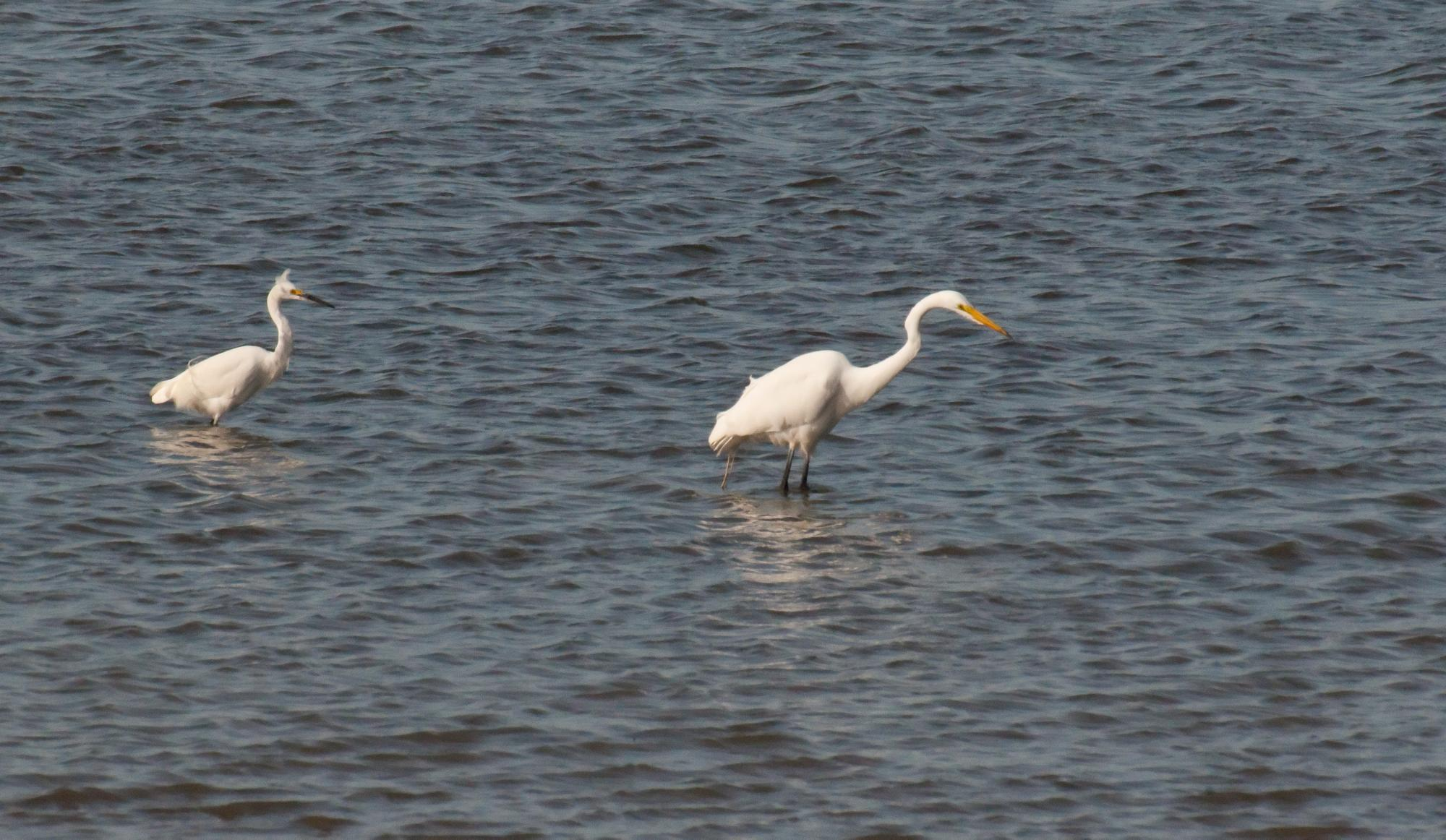 20100616_Snowy_Egret_Stalked_Great_Egret.jpg