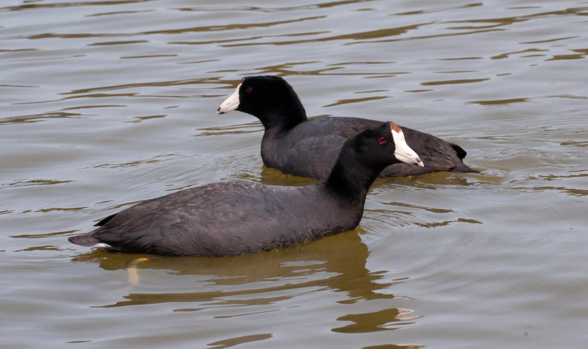 20100620_American_Coots.jpg